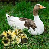 Goslings on grass