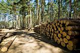 Cut down and piled pine logs