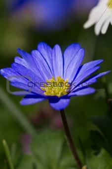 Beautiful blue Anemone blanda