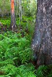 Ferns of Florida