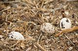 Three osprey eggs in a nest