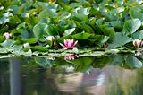 pond lily on the water