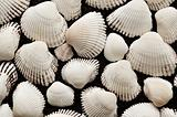 Sea cockleshells of white color