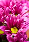 Deep pink chrysanthemum flowers  - very shallow depth of field