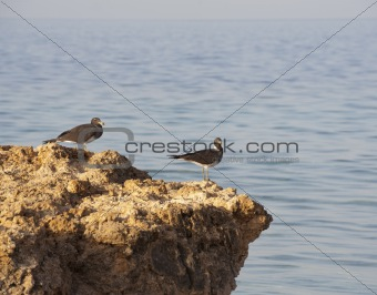 Pair of Sooty gulls on rocks