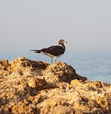Sooty gull perched on rocks