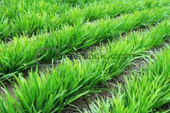 Leek growing in the fields