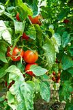 Organic Homegrown Tomatoes