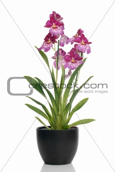 Pink orchid in a pot