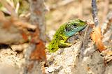 Closeup of a lizard