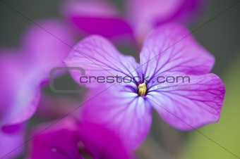 Beautiful high key image of Honesty Spring flower with bokeh bac