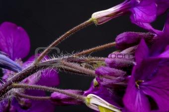 Beautiful low key dramatic image of Honesty flower on black back