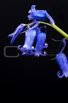 Beautiful low key macro close up of bluebell Spring flower