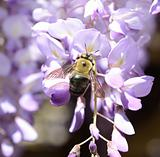 Bee on Wisteria