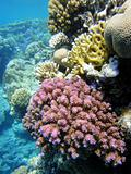 Coral garden in Red sea 3