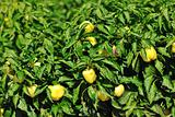 fresh organic food peppers