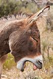 Wild Burro Donkey in Nevada Desert