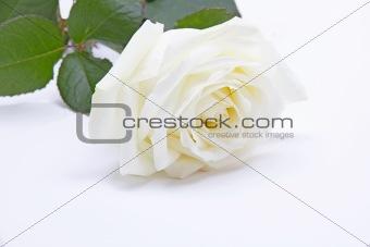 Single white rose