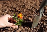 planting flower