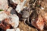 Crab among the stones