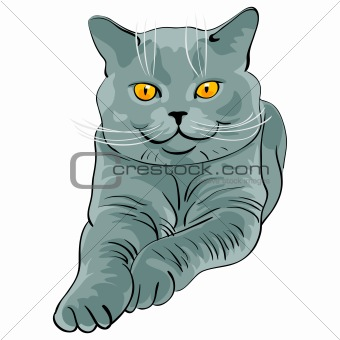 British short hair blue cat lies and looks