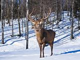 Male Red Deer in winter