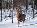 Male Red Deer in winter