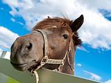 Face Horse