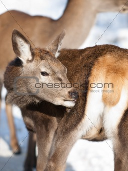 Baby deer fawn in winter