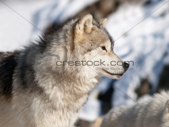 Artic wolf in winter