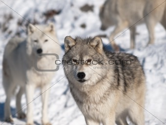Arctic wolf in winter in natural environment