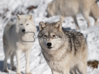 Artic wolf in winter.