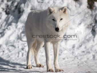 Artic wolf in winter.