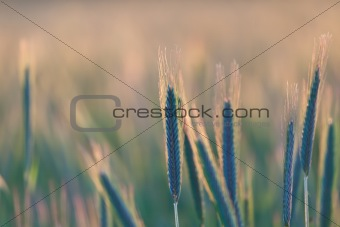 close up of wheat on sunset