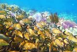 coral caribbean reef Mayan Riviera Grunt fish