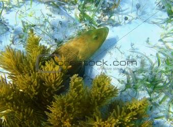 Caribbean grouper fish in sand bottom