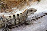 Iguana in Mexico on aged gray wood near beach