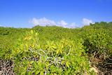 Mangrove plant detail in sunny day blue sky