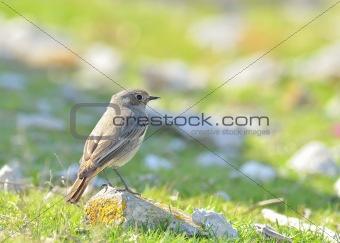 A Black Redstart