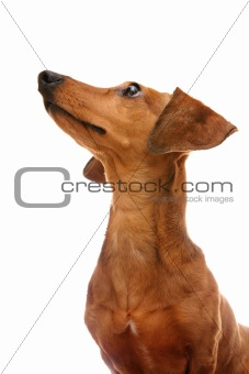 dachshund looking to top