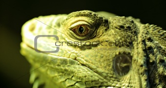 bearded dragon head