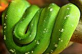 Green snake