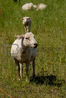 Flock of white swiss sheep standing in a field outdoors