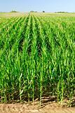 Plantation Corn
