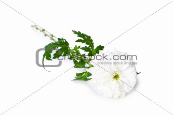 Chrysanthemum (mums) isolated on white
