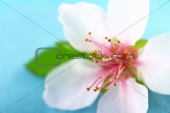 Anthers and Stigma of a Peach Blossom