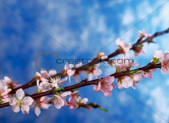 Peach Branch in Full Bloom