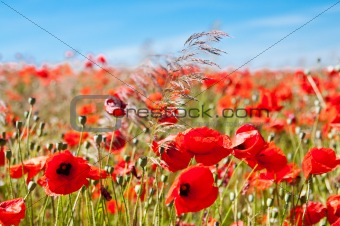 poppies and others wild flowers into wheat field