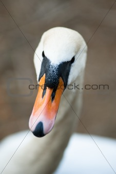 Closeup of a swan