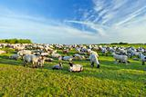 A summer landscape and herd sheep